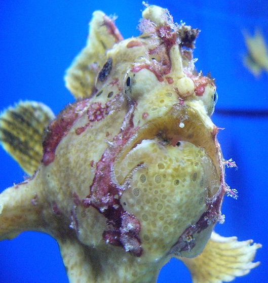 Таитянская бородавчатая рыба клоун